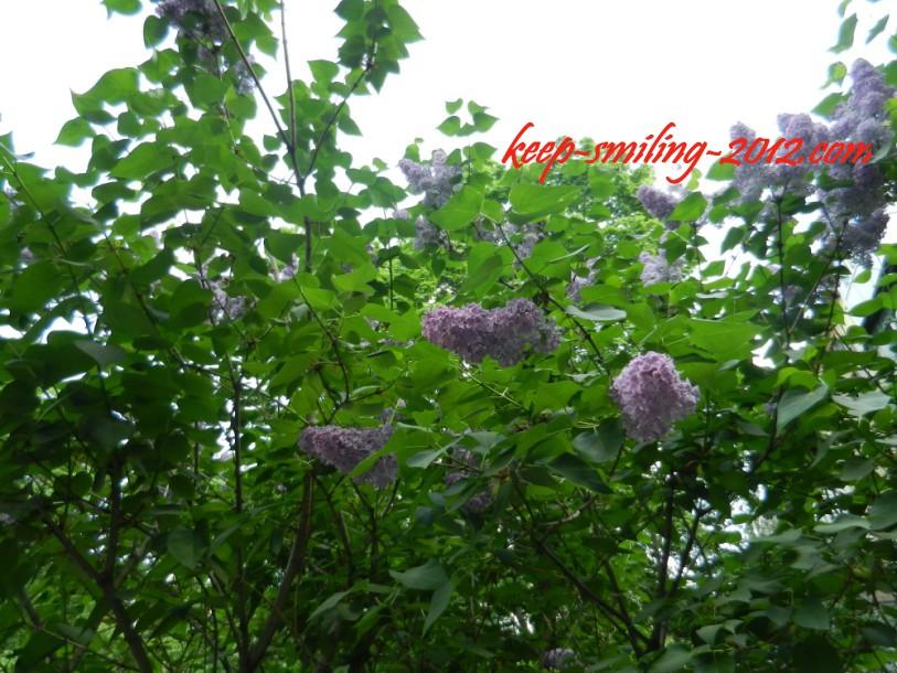 Фото Донецка. Сирень цветет почти в каждом дворе