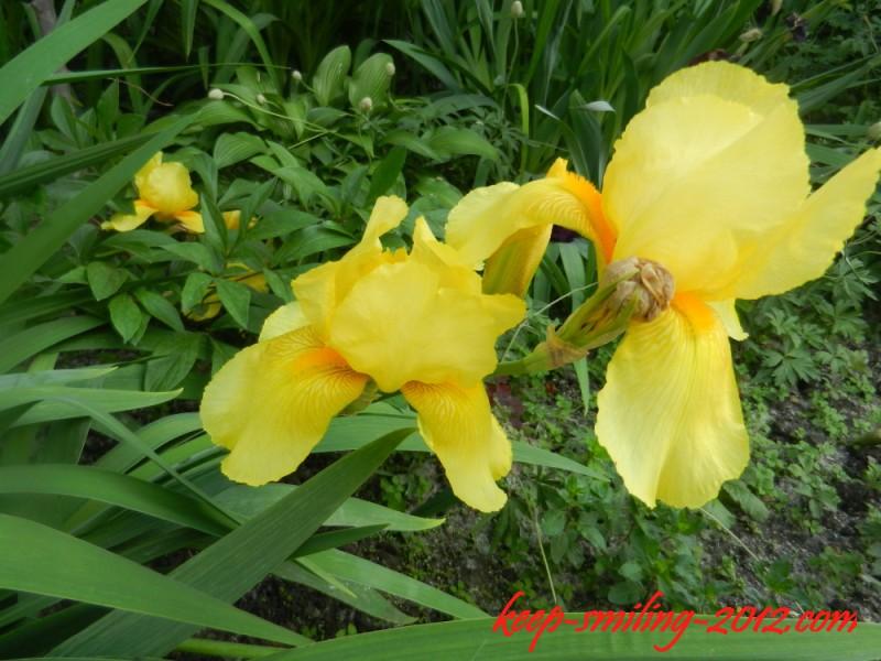 Фото Донецка. Городские цветы: ирисы