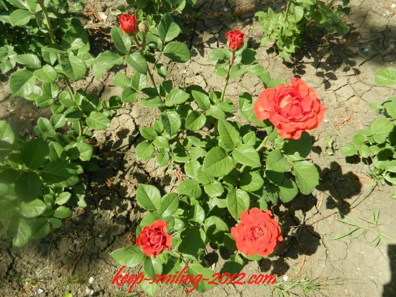 Фото Донецка. Городские цветы: розы