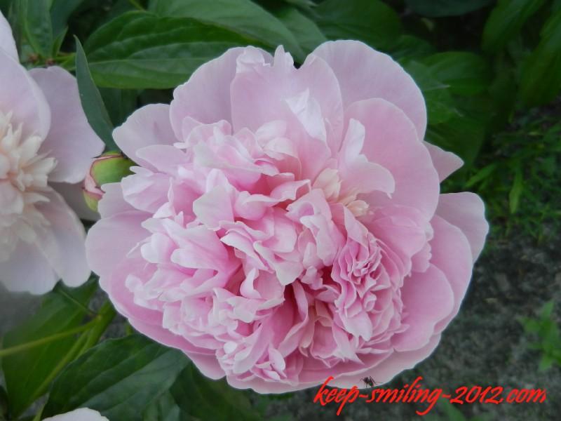 Фото Донецка. Городские цветы: пионы